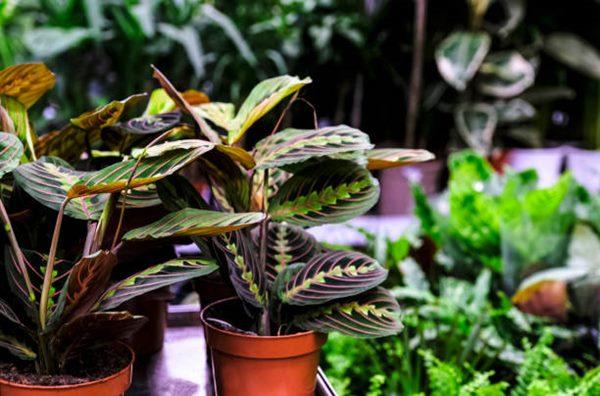 prayer plant in ceramic pot