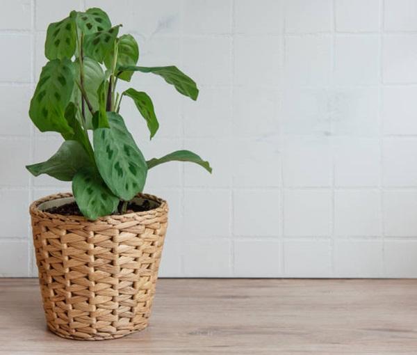 prayer plant in a pot