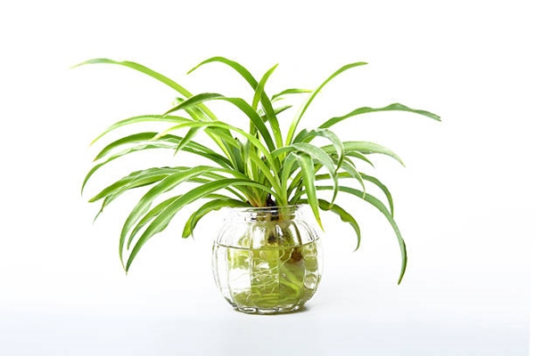 spider plant in vase (plants for vases)