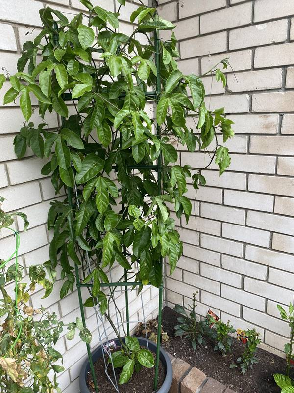 Passion fruit plant in container