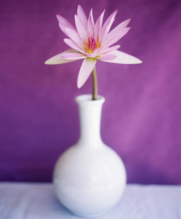 Water lily flower in a vase