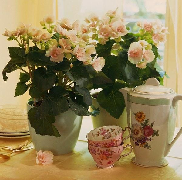 flowering begonias in pot indoors