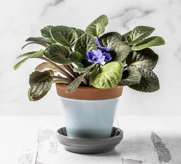 African Violet in pot indoors