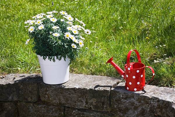 shasta daisies in pot