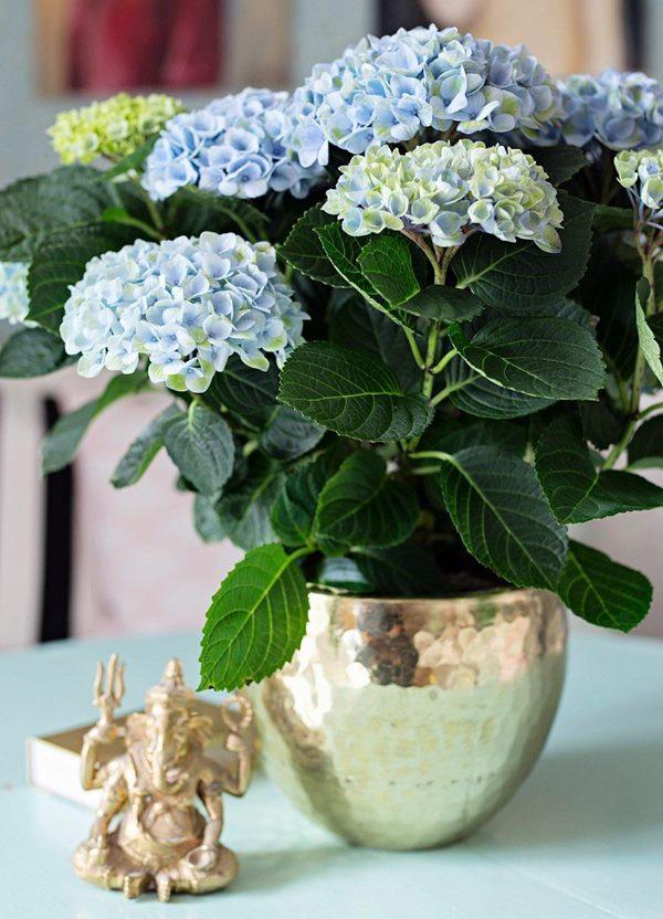 Hydrangea flowering in a pot indoors