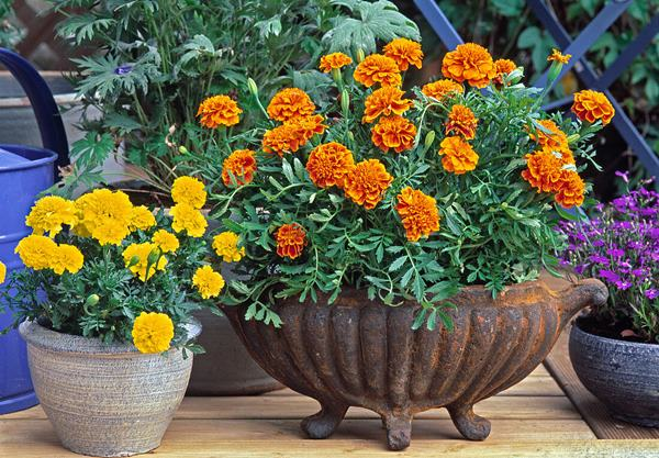 yellow and orange marigold in pot
