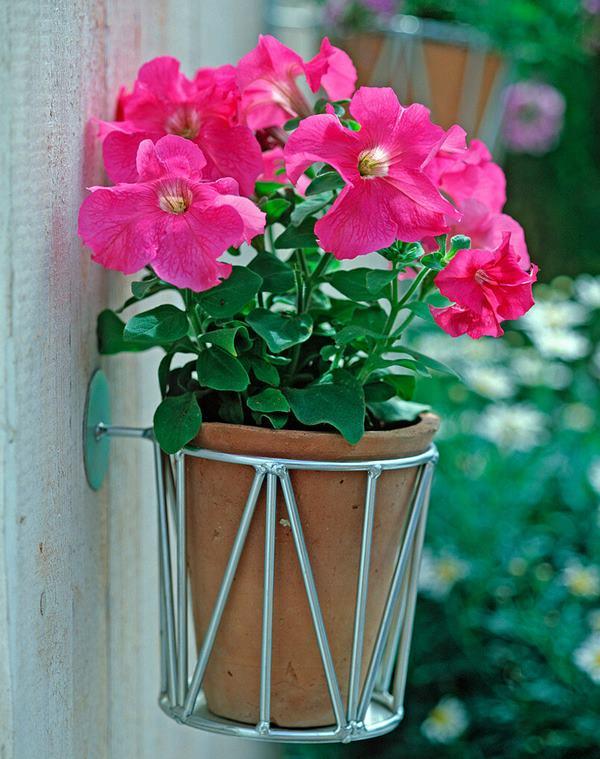 Petunia grandiflora (pink) in planter