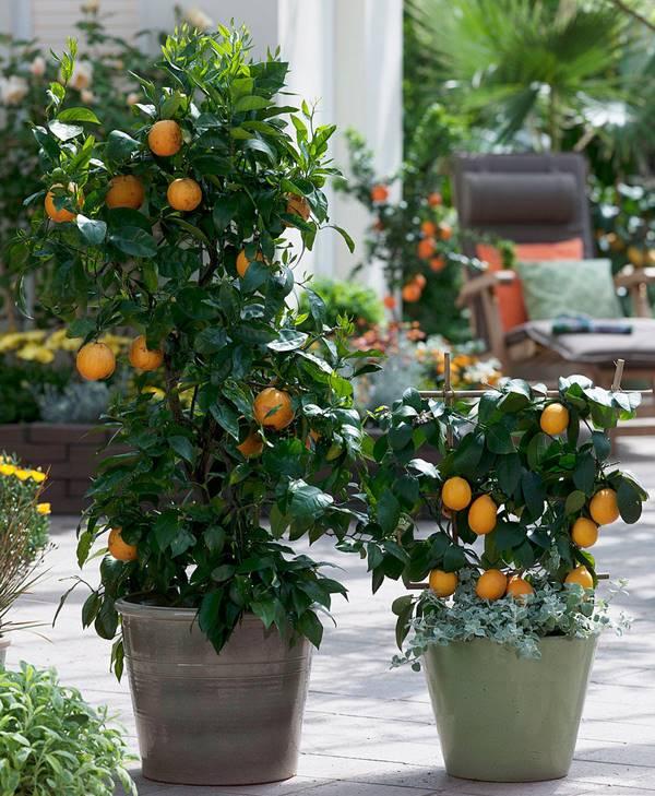 Citrus limon 'Meyer' (improved meyer) growing with Citrus sinensis (sweet orange)