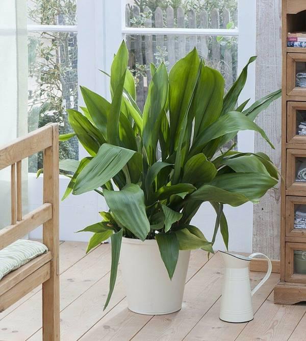 Aspidistra elatior or cast iron plant in pot