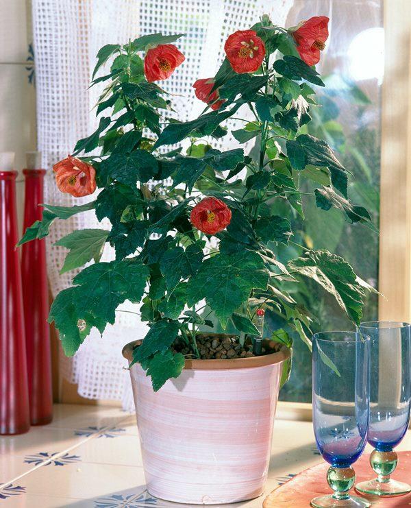 Flowering maple (Abutilon) in pot