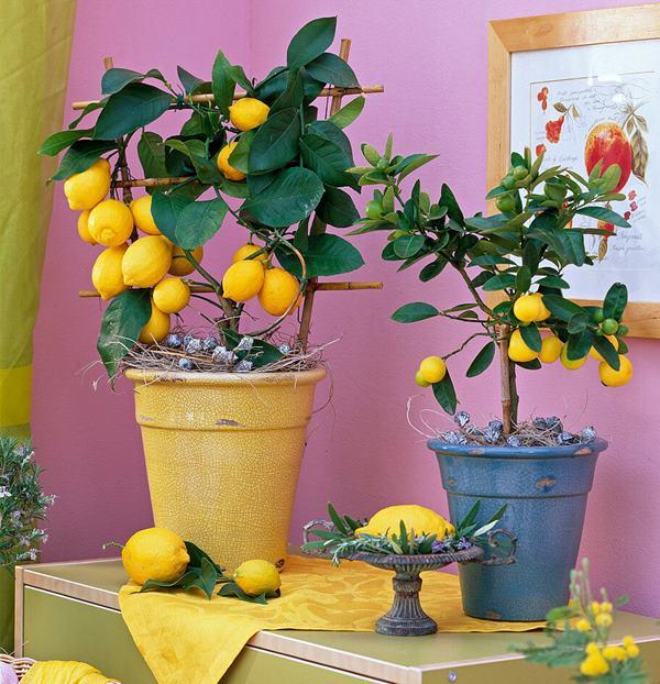 lemon fruits growing in pot