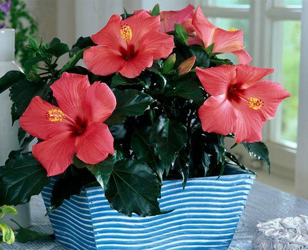 Hibiscus flowering in pot