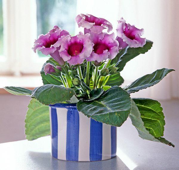 Gloxinia (Sinningia) in pot indoors