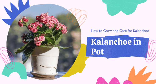 how to grow kalanchoe in pots
