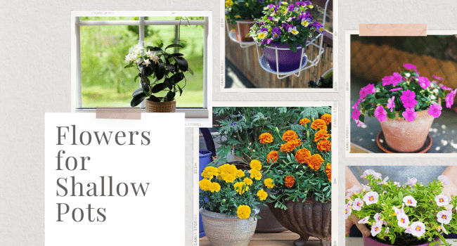 Flowers for Shallow Pots