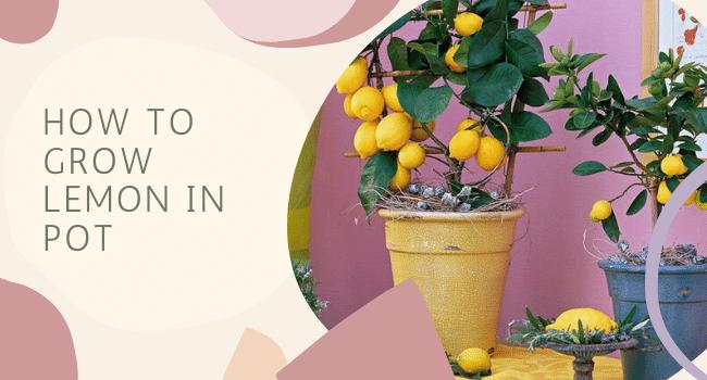 how to grow lemon in pot