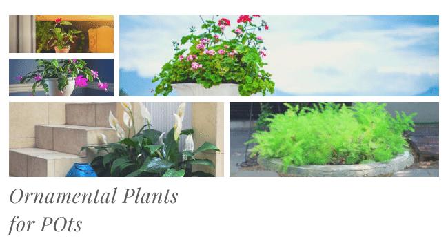 Ornamental Plants for Pots