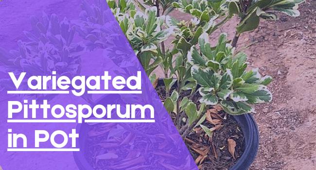 Grow Variegated Pittosporum in Pot