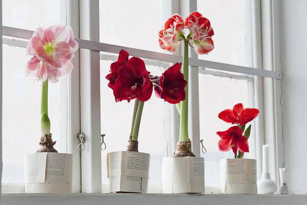 Amaryllis flowering in pot on windowsill