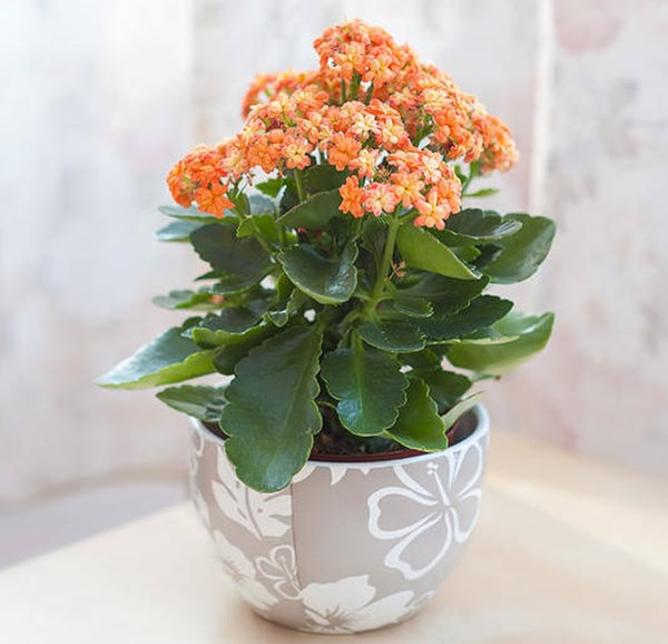 Kalanchoe blooming in pot