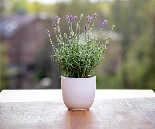 lavender blooming in shallow pot