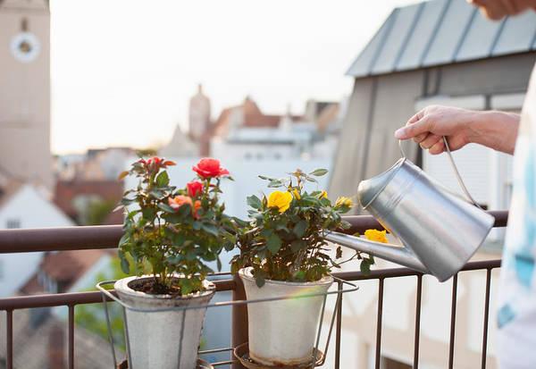 ornamental rose growing in balcony in pot