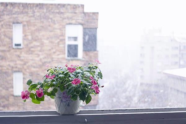 impatiens in pot indoors