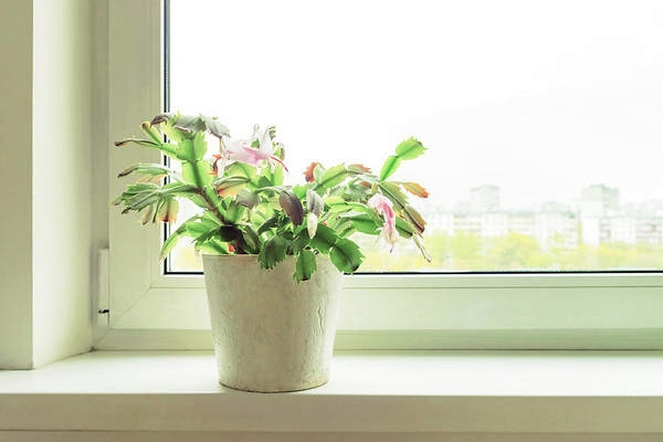 Christmas Cactus blooming in pot on windowsill