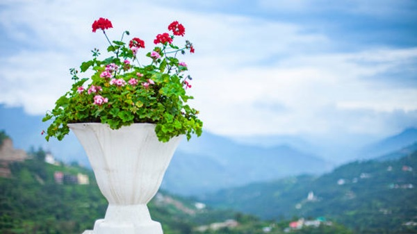 geranium in ornamental pot