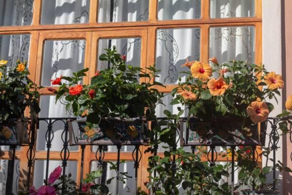 Hibiscus in pots on balcony