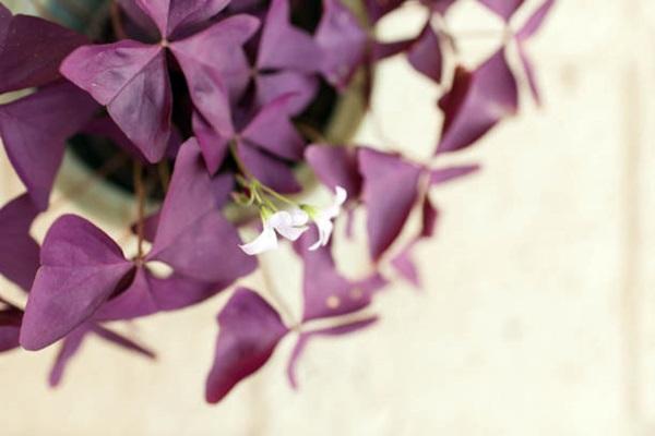 Purple Oxalis Triangularis blooming in pot