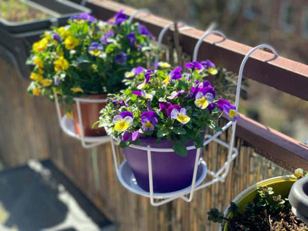 pansies blooming in container