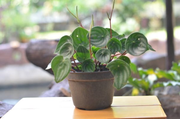 peperomia in a pot on brown tabletop