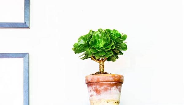 Aeonium succulent in a container