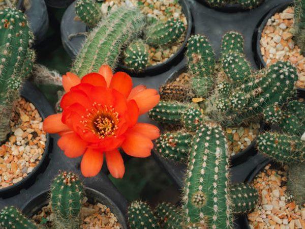 peanut cactus (Chamaecereus silvestrii) flowering in pot