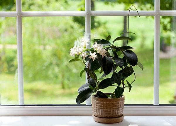 jasmine blooming in pot on windowsill