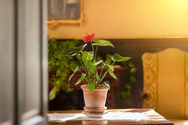 Anthurium in a pot