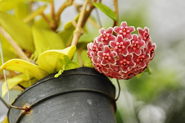 Hoya Carnosa or wax plant flowering in pot indoors