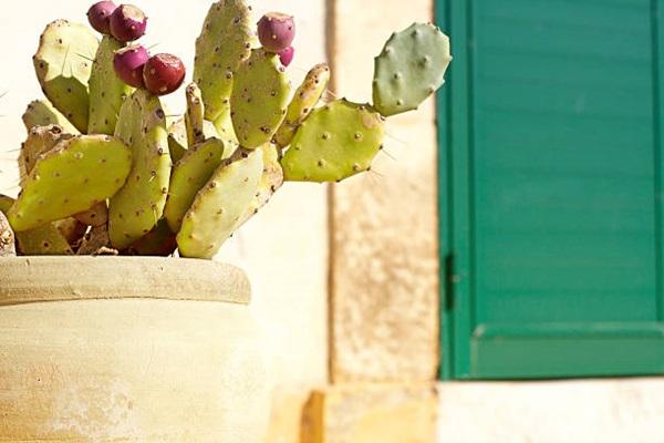 prickly peat cactus (opuntia) in pot