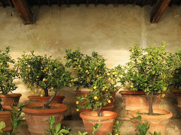 fruiting lemon trees in containers