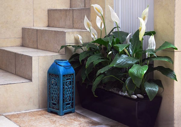 Peace Lily in pot indoors