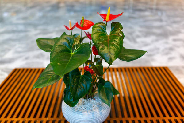 Anthurium with blooms in pot indoors
