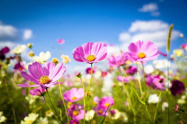 cosmos flower in summer garden