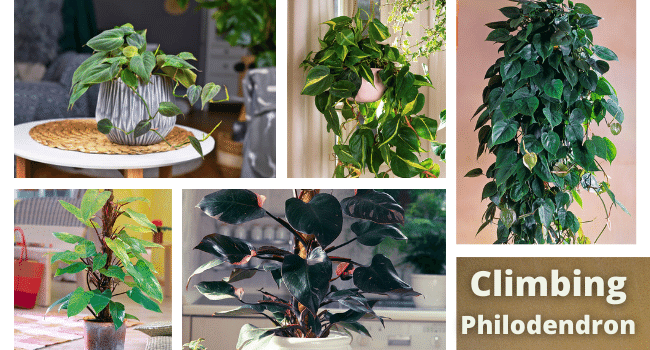 Climbing Philodendron types