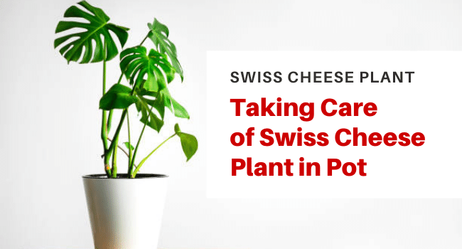 how to grow Swiss cheese plant in pot