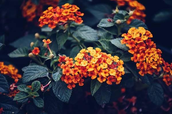 lantana blooming in full sun
