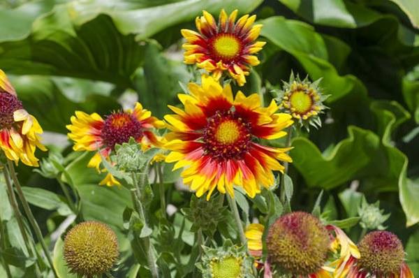 Gaillardia aristata or blanket flowers growing in bunch