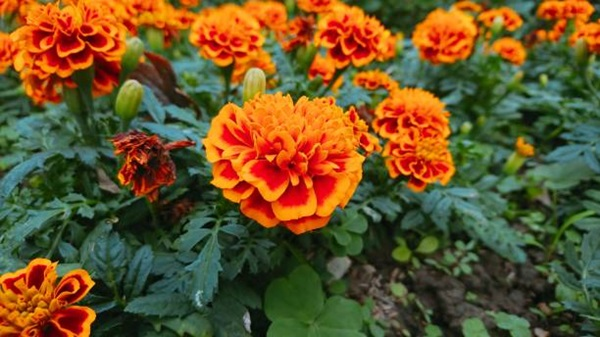 marigold blooms close-up