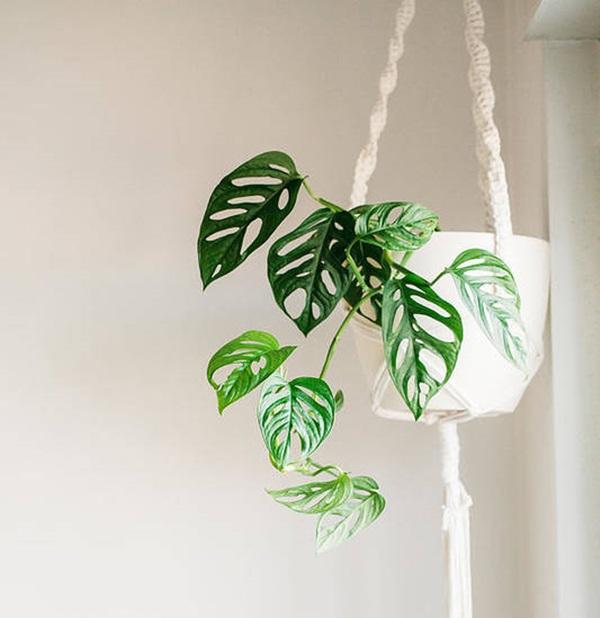 Monstera adansonii trailing from hanging basket