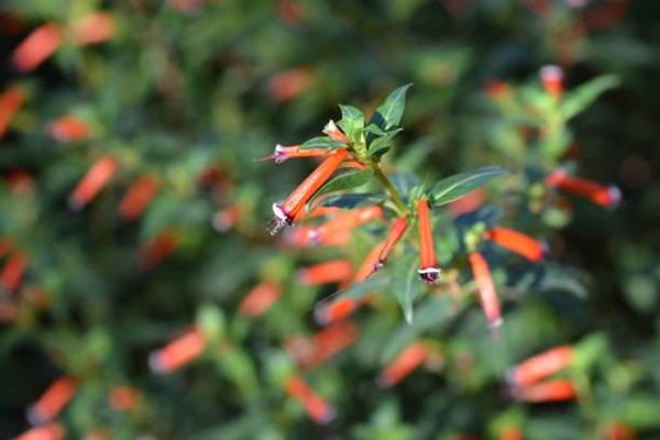 Cigar flowers or Cuphea ignea blooms